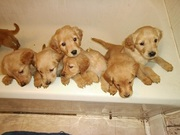 Golden Retriever Puppies AKC Registered
